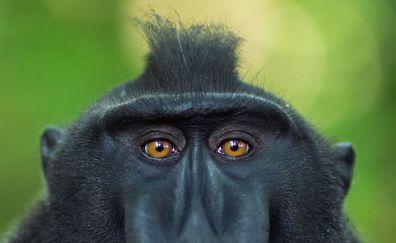 Monkey, ape, muzzle, stare