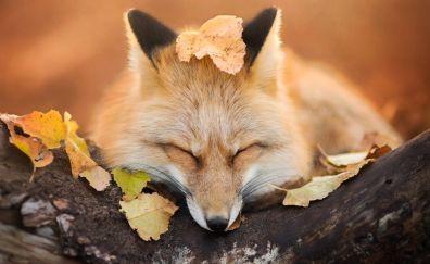 Autumn, leaves, fox muzzle, sleeping