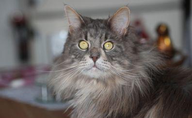 Amazed, Maine Coon cat, pet, animal