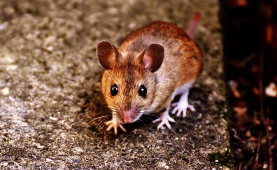 Mice, close up, rodent