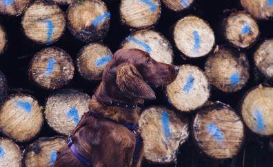 Dog retriever leash logs wallpaper