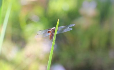 Dragonfly, bokeh, blur, insect