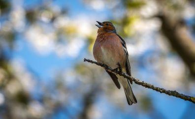 Finch bird, singing, tree branch