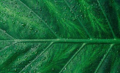 Leaf, veins, drops, close up
