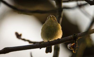 Willow warbler, bird, yellow bird, tree branch