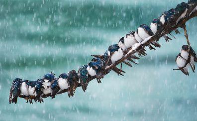 Swallow brids, sitting, winter, tree branch