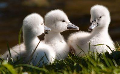 White Cute baby swan