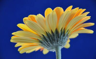Gerbera, yellow daisy, flower, close up, petals