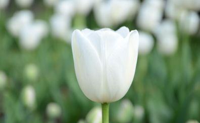 Tulip flower bud petals