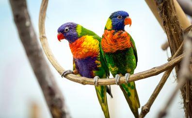 Parrot pair, colorful bird, sitting, 4k