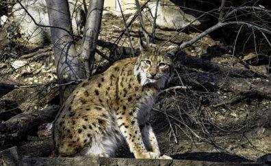 Lynx cat, wild animal