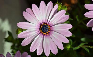 Chamomile flower, pink petals