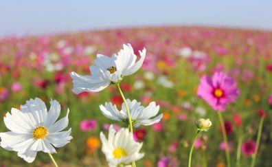 White cosmos, blooming, farm, blur