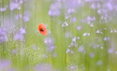 Poppy, close up, blur