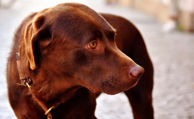 Brown dog, muzzle, pet cute animal