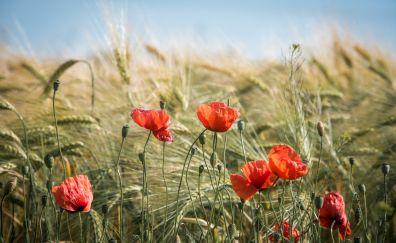 Summer field, nature, wheat, plants