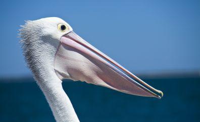 Pelican, beak, seabird