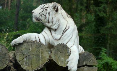 White tiger, predator, sitting, animal