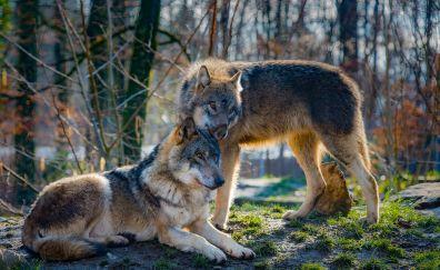 Wolves, predator, wild life