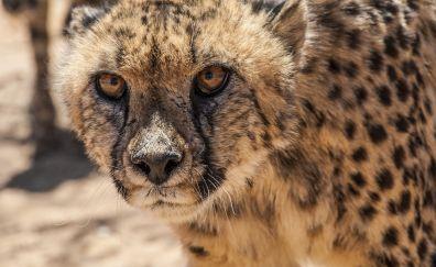 Cheetah, muzzle, jungle, predator, animal