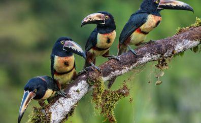 Toucan brids, long beak birds, sitting