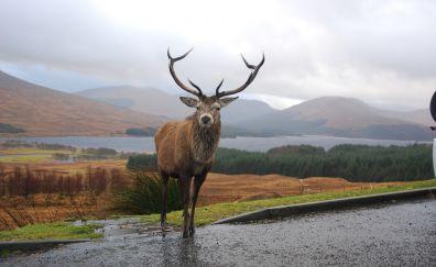 Reindeer, stare, wild animal, landscape, horns