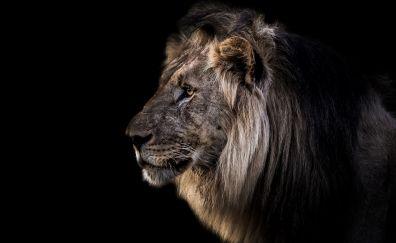 Lion muzzle, furry animal, predator