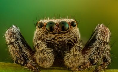 Spider, insect, macro, eyes