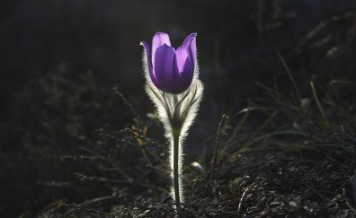 Pulsatilla, Pasqueflower flower