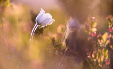 Bellflowers flowers, close up
