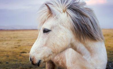 Pony horse, muzzle, animal