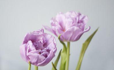 Bud, pink tulip, spring