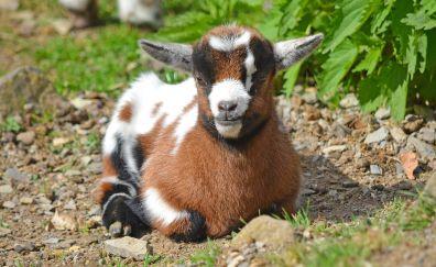 Baby goat, domestic animal, sitting, animal