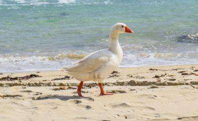 Goose bird, walk, beach