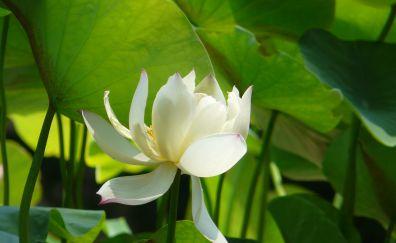 Lotus flower, pond, leaves