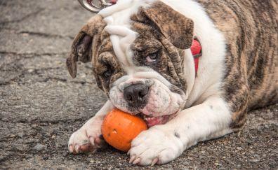 English bulldog, pumpkin, play