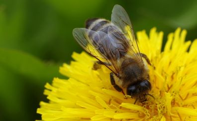 Bee, insect, flower, yellow, pollination