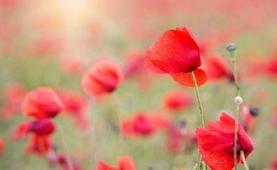 Red flowers field, poppies, meadow, blur