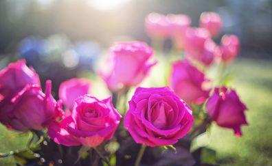 Pink roses, flowers, bokeh