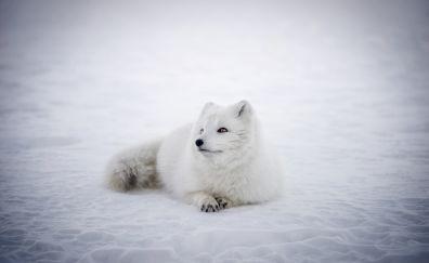 Arctic Fox animal, furry, wildlife