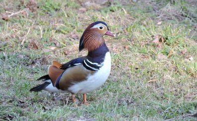 Duck, colorful bird, walk