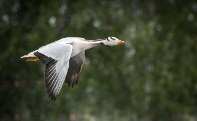 Wings, fly, goose, water bird