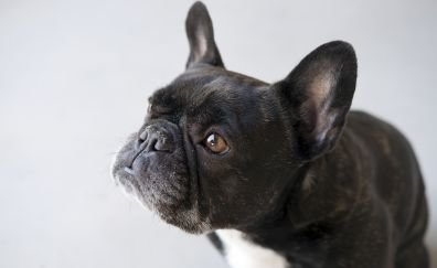 French bulldog dog muzzle