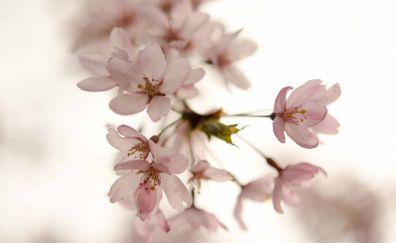 The sakura flowers