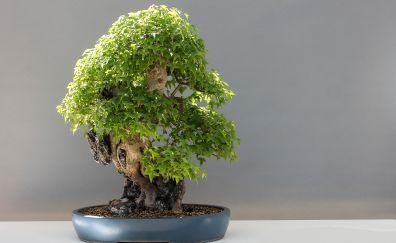 Bonsai, maple tree, pot