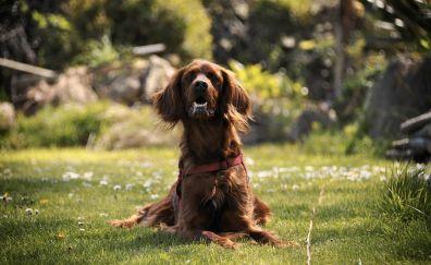 Curious, brown dog, sitting, park