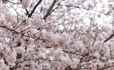 Cherry blossom, pink flowers, tree branch