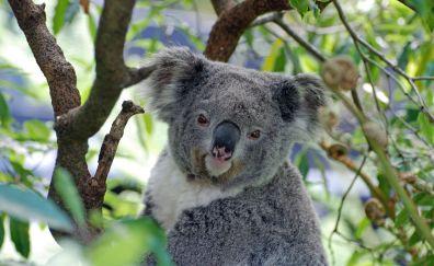 Koala, Australia, zoo, animal