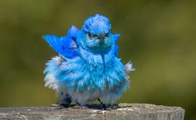 Passerine, blue sparrow, birds, small