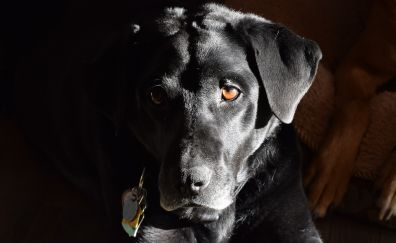 Labrador Retriever, black dog